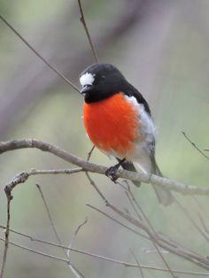 A scarlet Robin, Fleurieu peninsula South Australia