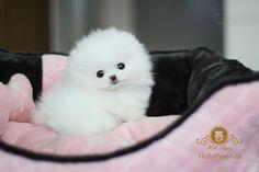 Image detail for -Tiny Teacup Pomeranians