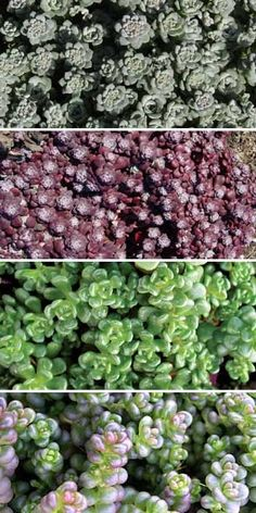 Cascade Native Succulent Mix: evergreen mix, with silveryblue, blue-green, burgundy and green foliage; flowers are predominantly yellow: 1) Sedum spathulifolium 'Cape Blanco' 2) Sedum spathulifolium 'Purpureum' 3) Sedum oreganum 4) Sedum divergens