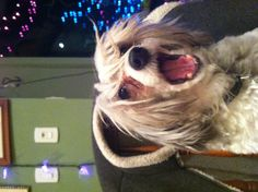 This is my wonderful Chinese Crested - Josie!!