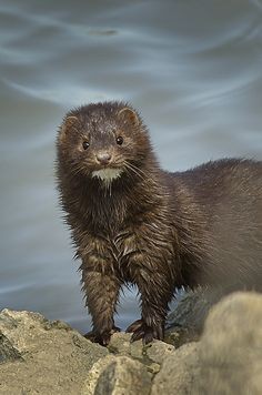 Mink, Metzger Marsh, Bono, Ohio; photo by .mizzginnn please never steal the coat off another beings back. Please.