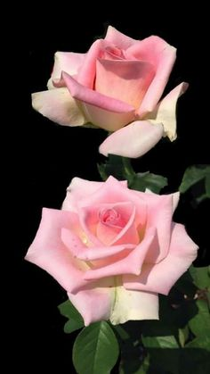 29 ideas wallpaper rose cottage style for 2019 Pretty Roses, Beautiful Flowers Garden, Amazing Flowers, Beautiful Roses, Pretty Flowers, Rose Reference, Floribunda Roses, Rose Flower Tattoos, Photo Portrait
