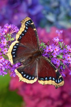 Mourning Cloak Butterfly, Nymphalis Photograph by Darrell Gulin