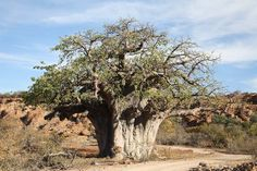 African Baobab Tree | Recent Photos The Commons Getty Collection Galleries World Map App ...