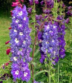 Perrenial blue Delphiniums