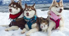 3 Huskies Become Best Friends With A Cat After Saving It From Dying.  A little over six months ago, nobody was certain if Rosie the kitten would live. However, thanks to Lilo the Husky, Rosie made a spectacular recovery and is now a happy member of the family.