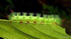 https://flic.kr/p/ULXhZx   Saturniid Moth caterpillar   from Ecuador: www.flickr.com/andreaskay/albums