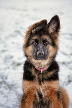 German Shepherd puppy ears #3 #new #pinterest #dog #doglovers #love #like4like #germanshepherd