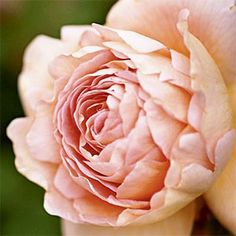 18 favorite roses to grow | 'Abraham Darby' | Sunset.com