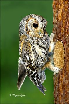 Flammulated Owl:  it breeds from southern British Colombia and the western U.S., but winters in central Mexico.