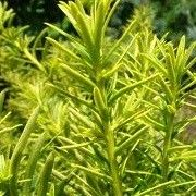 Taxus cuspidata 'Dwarf Bright Gold' (Japanese yew 'Dwarf Bright Gold') Click image to learn more, add to your lists and get care advice reminders each month.