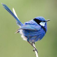 The Splendid Fairywren (Malurus splendens) is a passerine bird of the Maluridae family. Pretty Birds, Love Birds, Beautiful Birds, Animals Beautiful, Cute Animals, Small Birds, Colorful Birds, Little Birds, Australian Birds