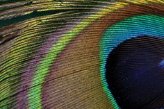 The peacock-feather is full of two-dimensional crystal structures that give it color and brilliant iridescence.