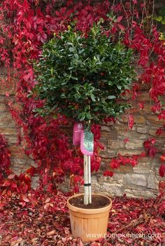 This Ilex 'Nellie R. Stevens' was purchased from Squire's Garden Centre in Milford. This standard, evergreen holly would make a perfect Christmas gift.