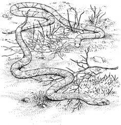 Scarlet King Snake and Milk Snake