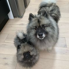 Weighing between 35 to 45 pounds and measuring 17 to 18 inches tall, the Keeshond is a friendly, fluffy breed originated from Holland.
