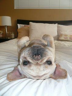 silly french bulldog. sooo cute!!