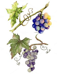 Grape in watercolor