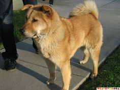 Chow Lab Mix. I use to have one and he was the sweetest dog