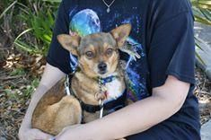 Baby - URGENT - WALTON COUNTY ANIMAL SHELTER in Defuniak Springs, FL - ADOPT OR FOSTER - Adult Spayed Female Chihuahua Mix