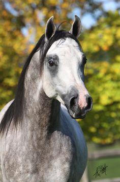 Summerwind : Spanish Arabians