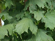 Apollo Sugar Maple is a compact and hardy version of our native sugar maple that matures to a modest size of about 25′ tall by 10′ wide.