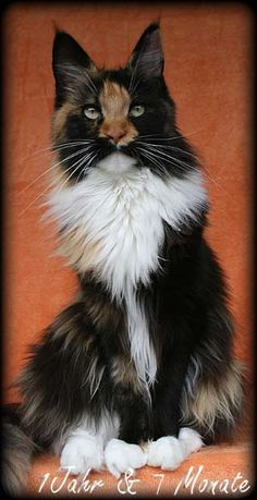 Black Tortie White. Maine Coon.