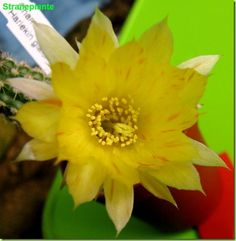 chamaecereus Harlekin fiore giallo rosso 1° anno