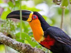 Tucano de bico preto (Ramphastos vitellinus) - Jardim Botânico-RJ - stock photo