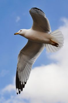 Ring-billed Gull (Larus delawarensis), adult in flight, photographed by Jiyang Chen