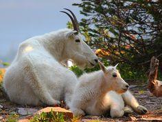 IMG_1759 Mountain Goat Nanny and Kid, Glacier National Park | Flickr - Photo Sharing!