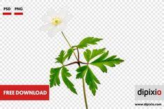 Free photo of windflower (Anemone nemorosa) for download on www.dipixio.com #dipixio #freephoto #freebie #free #photo #freedownload #stockphotos #photography #graphics #photos #blog #blogger #pic #freeimages #stock