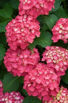 Hydrangea Flowers I want these to be my wedding flowers! Hortensia Hydrangea, Hydrangea Garden, Hydrangea Flower, Hydrangeas, Amazing Flowers, Pink Flowers, Beautiful Flowers, Beautiful Gorgeous, Garden Pictures