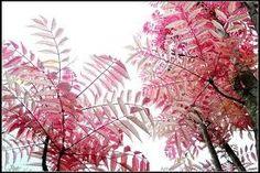 . pink