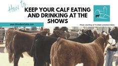 Does your calf refuse to eat or drink? Hauling your calf to shows can cause it to go off food or water. These tips will keep your calf eating and drinking. Cattle Barn, Show Cattle, Beef Cattle, Cattle Ranch, Show Steers, Teacup Pigs, Teacup Chihuahua, Rare Animals, Strange Animals