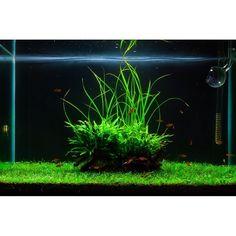 I like minimalistic plant aquariums.