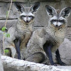 # Renee Rivers: Bat-eared fox (Otocylon megalotis)