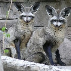 Bat-Eared Foxes ~ by renedrivers - Rene Rivers