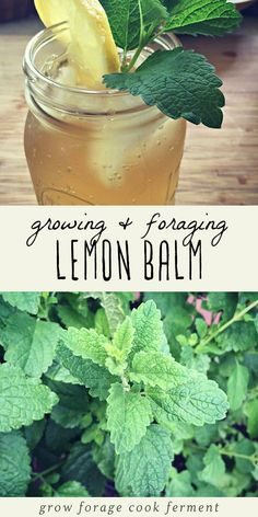 Lemon bam is an edible and medicinal herb in the mint family. Learn how to identify lemon balm, how to forge for it, how to grow it, and its many culinary and herbal medicine uses. Plus a recipe for lemon balm iced tea! Growing Mint, Growing Herbs, Permaculture, Lemon Balm Recipes, Lemon Balm Tea, Lemon Drink, Edible Plants, Weight Loss Drinks, Medicinal Plants