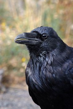 The Raven - common, picture, photo, portrait, photo, art, eye, beak, purple black, bird, Yellowstone National Park, travel photo, nature by DajDesigns on Etsy