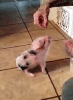 And this fail which is not really a fail because it is a pig and she's so adorable she'll always win my heart. | 31 Very Important Pigs Are Here To Melt Your Heart
