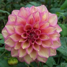 Dahlia hybird Soft pink petaled blooms overlaid with yellow brush marks. Large rounded blooms of up to 15cm whose lush foliage and mass of blooms are sure to fill any hole in your garden. Plant 45cm apart.<br /> <br /> Grows 1.2 - 1.5m high x 60cm wide.<br ...