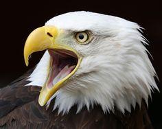Bald Eagle   par Buggers1962