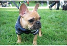 French Bulldog, £875