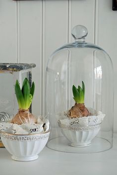 hyacinth bulbs in teacups under glass with doilies. how much more lovely could we get?