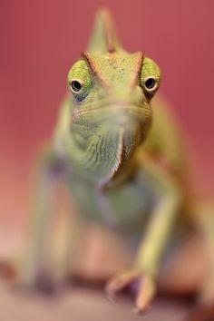 Chameleon by ELKAPL