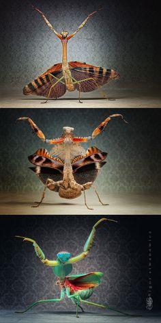 Mantis - Igor Siwanowicz http://photo.net/photos/siwanowicz