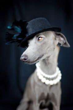 italian greyhound style by Alessandro Manco on 500px