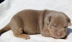 Blank Pitbull Breeders, Pitbull Kennels, Pitbull Terrier, Pitbulls For Sale, Pitbull Puppies For Sale, Blue Pitbull, Blue Pits, American Pitbull, Pet Home