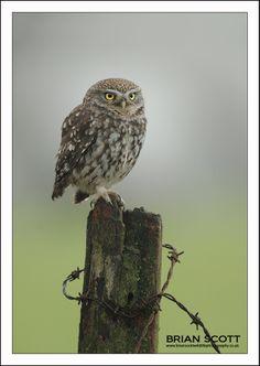 Little Owl by Brian Scott, via 500px